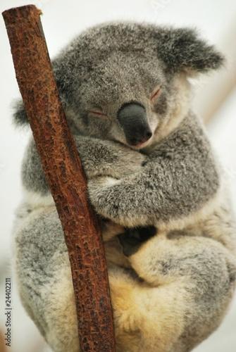 sleeping Koala 4