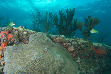 Star Coral on a reef in Broward County, Florida
