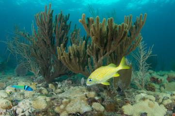 Sea Rod on a reef in Broward County, Florida