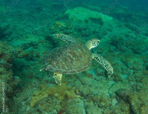 Green Sea Turtle-Chelonia mydas on a reef in Florida.