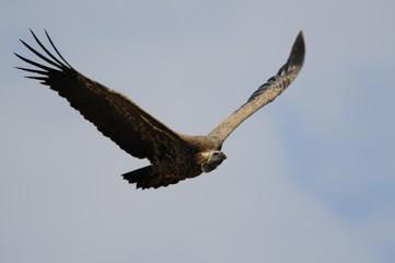 Gyps rueppellii in flight (Rüppell's Vulture), Masai Mara