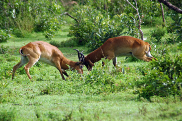 Two male kob fighting each other