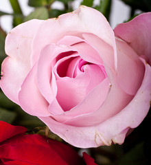 Pink Rose Bud in Bouquet