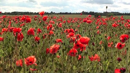 Glorious Poppyfield