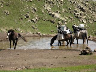 cavalli con carico al mt. ararat