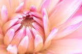 Fototapeta Closeup of Dahlia