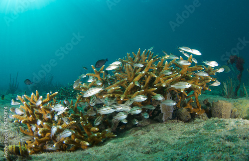 Juvenile fish in a colony of Staghorn coral.