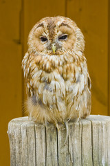 Bubo - Sleeping Owl in the Zoo