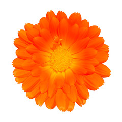 Orange Pot Marigold - Calendula officinalis Isolated on White
