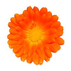 Orange Pot Marigold - Calendula officinalis Isolated on White