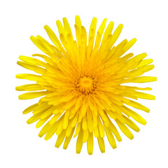 Yellow Dandelion - Taraxacum officinale  Isolated on White