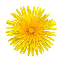 Yellow Dandelion - Taraxacum officinale  Isolated on White