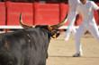 bull in arena - 24439026