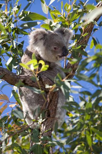Koalabär