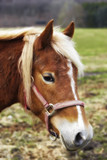 Beautiful brown horse outdoor at daytime poster
