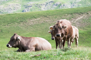 Cows in  Pyrenees