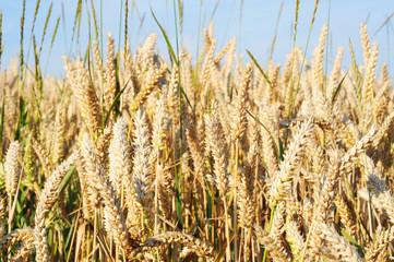 Field of ripe wheat in summertime, shallow dof