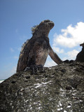 Standing Marine Iguana poster