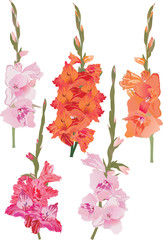 five gladiolus branches set