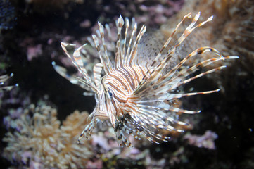 Lion fish and coral, Atlantic Sea Park, Norway