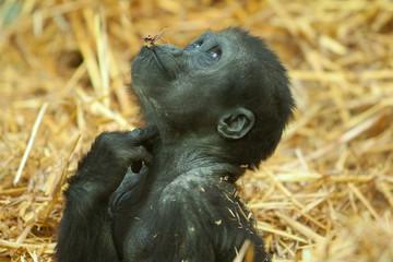 baby gorilla 8011