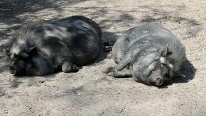 élevage de cochons