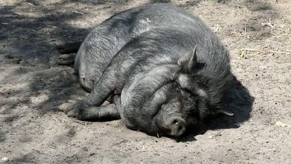 sieste de cochon
