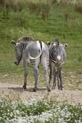 Pair of zebras grazing
