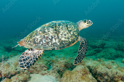 Foto op Canvas Schildpad Hawksbill Sea Turtle-Eretmochelys imbriocota on a reef.