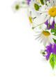 white daisywheels with blue campanula on white background