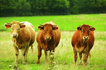 trois vaches dans un pré vert