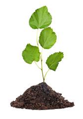 Tree seedling growing from soil