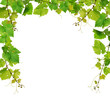 Fresh grapevine border on white background