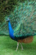 The colours of a Peacock