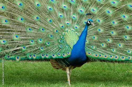 Peacock at it's best
