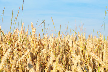 Field of ripe wheat in summertime, shallow dof