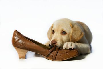 Labrador Welpe mit Schuh vor weissem Hintergrund
