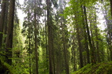 Fir Carpathian highland forest