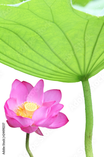 lotus and leaf