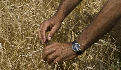 Weizen - Reife prüfen