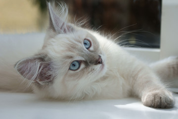 15 week old ragdoll kitten