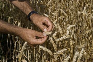 die Reife des Getreides prüfen