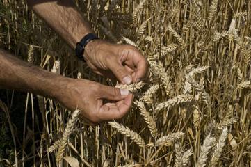 Weizenkörner auf Trockheit prüfen