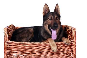 Deutscher Schäferhund liegt auf der Hundecouch