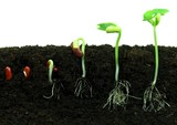 Sequence of bean seeds germination in soil poster