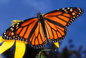 Monarch Butterfly (Danaus plexippus) - Illinois