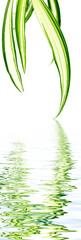 feuillage de phalangère, plante araignée, fond blanc