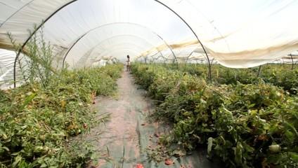 récolter des tomates sous serre