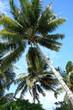 cocotiers des îles