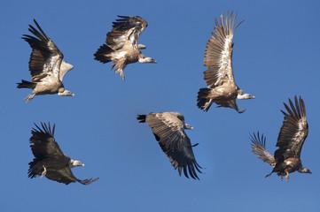 Buitres leonados en pleno vuelo.